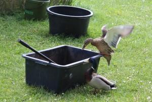 Divé kačice nás sprevádzali na každom kroku